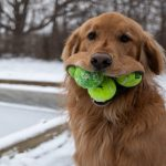 Cold Weather Exercise Ideas For Your Golden Retriever